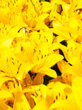 Beautiful bouquet of yellow lilies Stock Photography