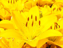 Beautiful bouquet of yellow lilies Royalty Free Stock Image
