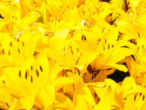 Beautiful bouquet of yellow lilies Royalty Free Stock Images