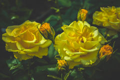 Beautiful bouquet of yellow roses Stock Image
