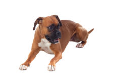 Beautiful boxer dog Stock Photography