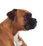 Beautiful boxer dog Stock Photo