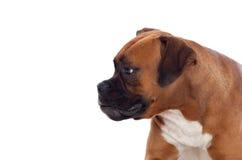 Beautiful boxer dog Stock Images