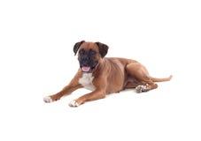 Beautiful boxer dog Stock Image