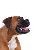Beautiful boxer dog Royalty Free Stock Image