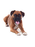 Beautiful boxer dog Royalty Free Stock Photo