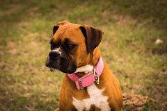 Beautiful Boxer royalty free stock photography