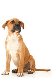 Beautiful Boxer Puppy Royalty Free Stock Image