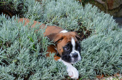 Beautiful Boxer puppy female fawn playing in lavender Stock Photos