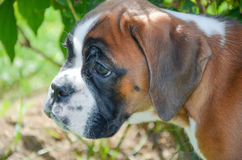 Beautiful Boxer puppy 2 months old alert Royalty Free Stock Photos