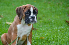 Beautiful boxer puppy sitting in the grass Royalty Free Stock Images