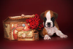 Beautiful boxer puppy with white markings lies near the autumn b stock images