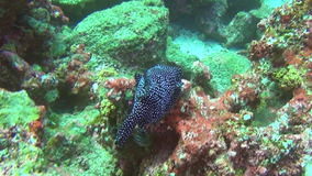 Beautiful boxfish on background underwater landscape of Galapagos Islands. stock video footage