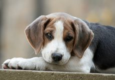 Beautiful boy. Beagle puppy rests his head on his lead and watches what is happening stock photography
