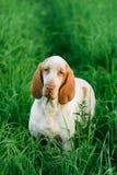 Beautiful Bracco Italiano standing in high green grass Stock Images