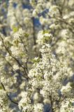 Beautiful Bradford Pear tree flowering blossoms bloom on colorful spring day with white petals and blue sky background Stock Photography