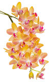 Beautiful branch of abundant striped orange orchid, phalaenopsis is isolated on background, close up, make up stock photography