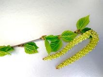 Beautiful branch of a birch blossoming stock images