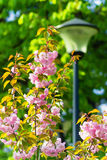 Beautiful branch of a blossoming pink Cherry Blossoms in spring Royalty Free Stock Photo