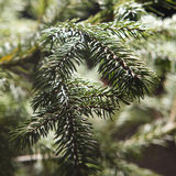 Beautiful branch of fir-tree. As abstract christmas background Stock Photo