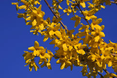 The beautiful branch of flowering yellow forsythia against a blue sky royalty free stock photography