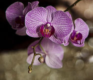 Beautiful branch with flowers of Phalaenopsis orchid Royalty Free Stock Photography