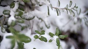 Beautiful branch with green leaves in late fall or early winter under the snow. First snow, snow flakes fall, close-up. stock photography