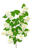 Beautiful branch of jasmine. With many flowers Royalty Free Stock Photo