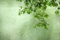 Beautiful branch with leaves on a background of water Stock Images