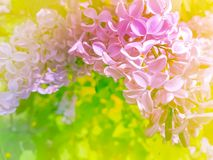 beautiful branch lilac vibrant background blossom royalty free stock photo