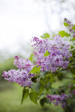 Beautiful branch of lilac flowers Stock Image