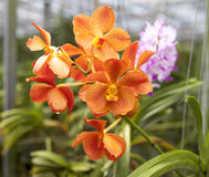 Beautiful branch of orange flowers of orchids. Orchid Garden Thailand Phuket. Royalty Free Stock Photography