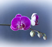 Beautiful branch of purple orchid Royalty Free Stock Images