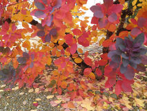Beautiful branch with red burgundy yellow leaves of a plum tree. Royalty Free Stock Photo