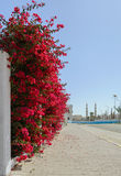 Beautiful Branch with red flowers of Bougainvillea Royalty Free Stock Photos