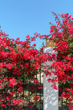 Beautiful Branch with red flowers of Bougainvillea Stock Images