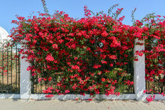 Beautiful Branch with red flowers of Bougainvillea Stock Image