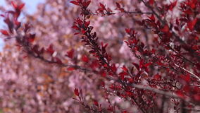 Beautiful branch with red leaves of flowering tree stock video