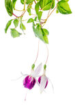 Beautiful branch of red and white fuchsia flower is isolated on Royalty Free Stock Images