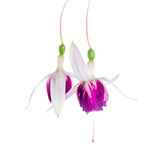 Beautiful branch of red and white fuchsia flower is isolated on Stock Images