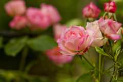 Beautiful branch of roses flowers Royalty Free Stock Photo