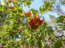 A beautiful branch of a rowan tree with red berries on a light gray sky in the garden. Bright color image of nature. Style Top royalty free stock photos