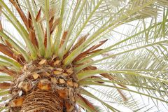 Beautiful branch with spathes in a date palm trees royalty free stock photography