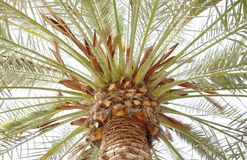 Beautiful branch spreading out in a date palm trees Royalty Free Stock Photo