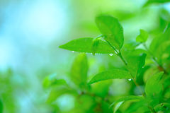 Beautiful branch of tree with green leaf Royalty Free Stock Image