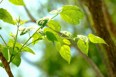 Beautiful branch of tree with green leaf Royalty Free Stock Photo