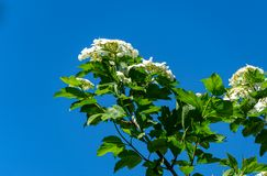 Beautiful branch with white flowers of blooming Viburnum opulus on blue sky background. Viburnum opulus large. Deciduous shrub. Selective focus. Nature concept stock photo