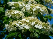 Beautiful branch with white flowers of blooming Viburnum opulus on blue sky background. Viburnum opulus large. Deciduous shrub. Selective focus. Nature concept royalty free stock images