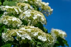 Beautiful branch with white flowers of blooming Viburnum opulus on blue sky background. Viburnum opulus large. Deciduous shrub. Selective focus. Nature concept royalty free stock photo