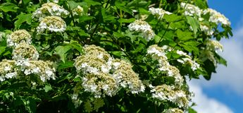 Beautiful branch with white flowers of blooming Viburnum opulus on blue sky. Background. Viburnum opulus large, deciduous shrub. Selective focus. Nature concept stock images